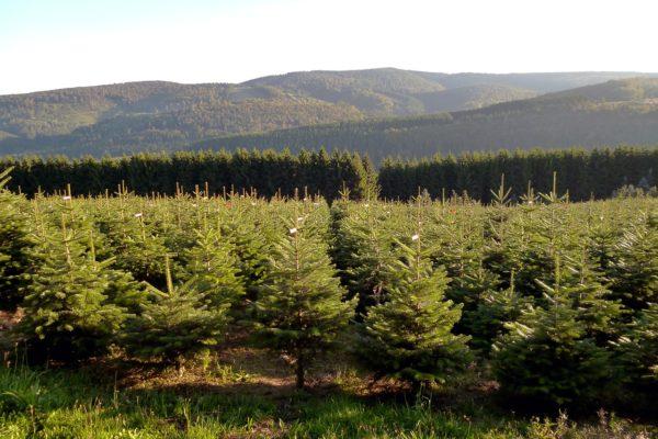 Nordmanntanne markiert - Weihnachtsbäume aus dem Sauerland