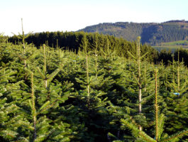 Fläche Nadelholzkulturen Osebold im Überblick