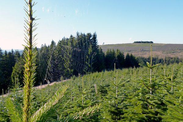 Spitze Nordmanntanne mit Ausblick - Weihnachtsbäume aus dem Sauerland