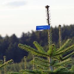 Online Anfrage Weihnachtsbäume kaufen