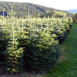 Weihnachtsbäume aus dem Sauerland Teaser