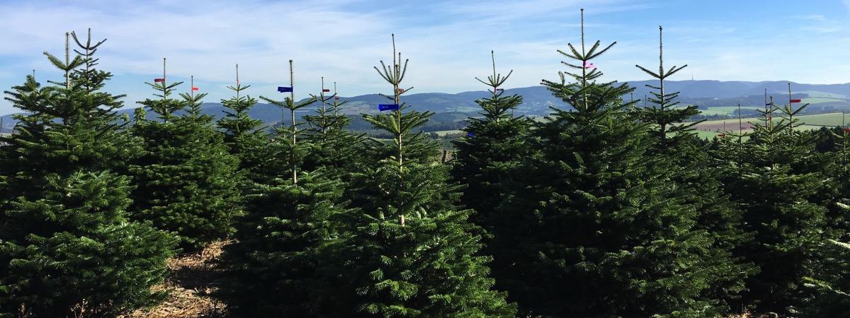 Weihnachtsbäume Sauerland