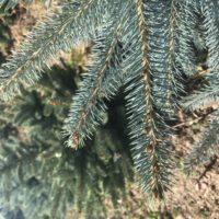 Blaufichte Weihnachtsbaum Tannenart als Detailaufnahme