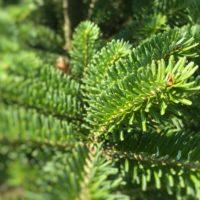 Frasertanne Weihnachtsbaum Tannenart als Detailaufnahme