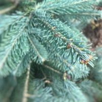 Korktanne Weihnachtsbaum Tannenart als Detailaufnahme