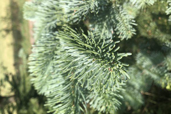 Nobilis Weihnachtsbaum Tannenart als Detailaufnahme