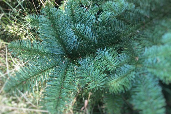 Nobilis Weihnachtsbaum Tannenart als Nahaufnahme