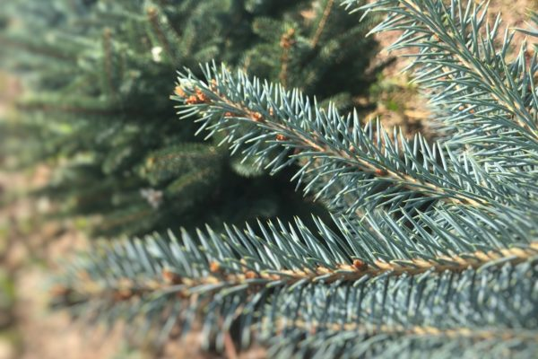 Blaufichte Detailaufnahme